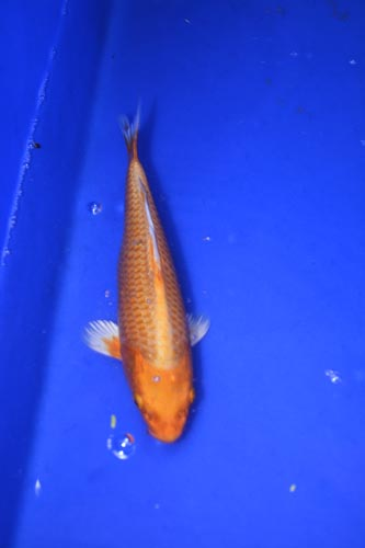 Orange ogon 22cm niji koi for Ogon koi fish