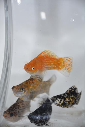 Buy tropical fish online niji koi for Order aquarium fish online
